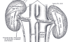 The posterior surfaces of the kidneys, showing...